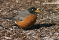 Free American Robin Royalty Free Stock Image - 3733156