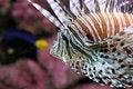 Free Lionfish Stock Photography - 3735332