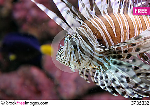Free Lionfish Stock Photography - 3735332