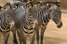 Free Zebras Royalty Free Stock Photos - 3730898