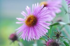 Free Pink Flower Royalty Free Stock Photos - 3731468