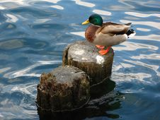 Free Mallard (Anas Platyrhynchos) Male Duck Royalty Free Stock Photography - 3731827