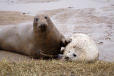 Free Grey Seals Stock Photo - 3732180