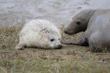 Free Grey Seals Stock Photos - 3732223