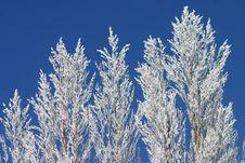 Free Winter Poplars Royalty Free Stock Photo - 3732995