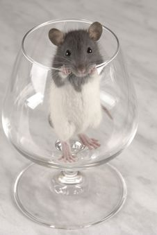 Grey Rat Royalty Free Stock Photography