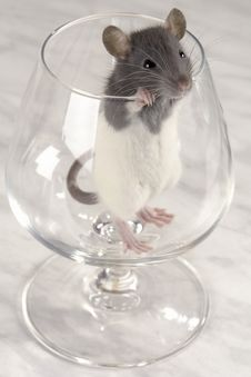 Grey Rat Stock Photo