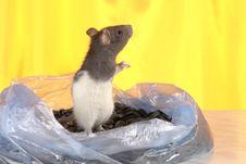 Free Grey Rat Stock Photography - 3733652