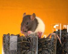 Free Grey Rat Royalty Free Stock Images - 3733659