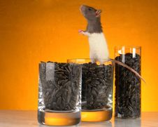 Grey Rat Stock Photos