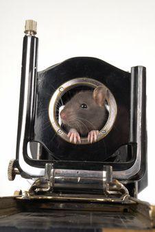 Free Grey Rat Royalty Free Stock Image - 3733666