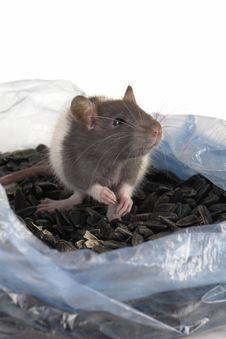 Free Grey Rat Stock Images - 3733674
