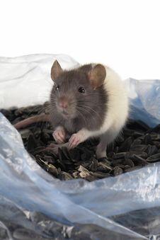 Free Grey Rat Royalty Free Stock Image - 3733676