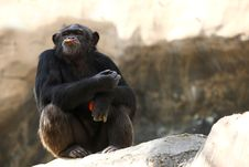Free Chimpanzee Eating An Apple Stock Images - 3733844