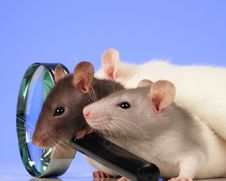 Free Rat Royalty Free Stock Photo - 3734875
