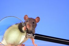 Free Rat Stock Images - 3734884