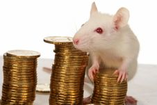 Free Rat Stock Images - 3734964
