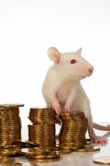 Free Rat Royalty Free Stock Photos - 3734968