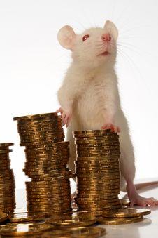 Free Rat Stock Photos - 3734973