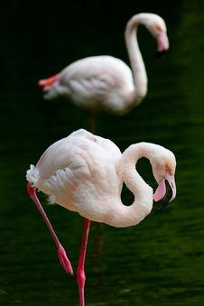 Free Flamingo Royalty Free Stock Photo - 3735175
