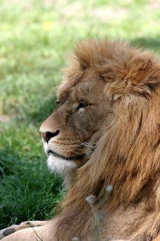 Free Lion S Portrait Stock Image - 3735321