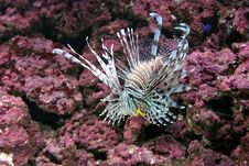Free Lionfish Stock Photo - 3735340
