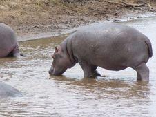Free Hippo Royalty Free Stock Image - 3737756