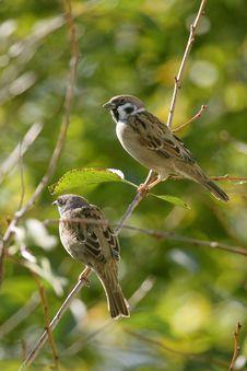 Free Eurasian Tree Sparrow,  Passer Montanus Royalty Free Stock Image - 3738746