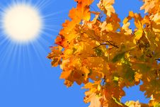 Free Maple Leaves Stock Photography - 3738882