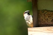 Free Small Sparrow Stock Photography - 3739952
