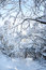 Free Snow In The Forest Royalty Free Stock Photography - 37384467