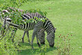 Free Grazing Zebras Royalty Free Stock Photos - 3740138