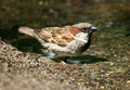 Free House Sparrow Stock Images - 3740614