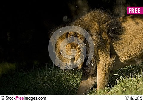 Free Lion Moving To Shade Royalty Free Stock Photo - 3746085