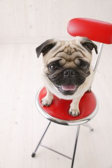 Free Very Nice Close Up Of Puggy Dog Royalty Free Stock Photo - 3740005