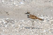 Free Killdeer Royalty Free Stock Images - 3740029