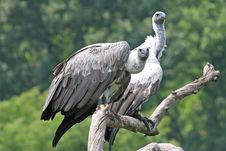 Free Vultures Stock Images - 3740084