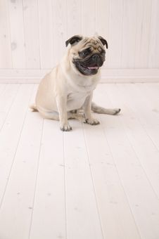 Free Puggy Dog Sit On The Floor Stock Image - 3740121