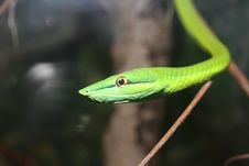 Free Green Snake Royalty Free Stock Photography - 3740137