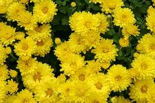 Free Chrysanthemum Royalty Free Stock Image - 3740186