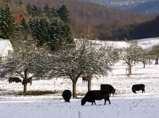 Free Browsing Bulls And Snow-covered Trees Stock Photography - 3740242