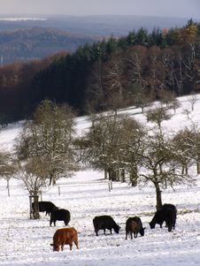 Free Bulls Browsing In The Snowy Mountains Stock Images - 3740274