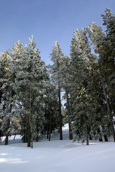 Free Pine Trees Covered With Snow Stock Images - 3740324
