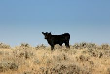 Free Black Calf Stock Image - 3740331