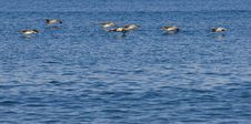 Free Pelicans Stock Photo - 3740450