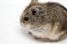 Free Hamster Stock Photography - 3740562