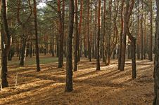 Decline In Pine To A Pine Forest Stock Image