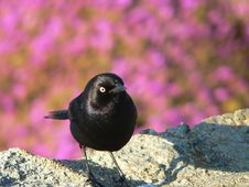 Free Black Bird Royalty Free Stock Photography - 3741067