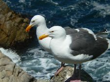 Free Seagull Couple Royalty Free Stock Photo - 3741145