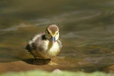 Free Baby Duck Royalty Free Stock Photography - 3743977